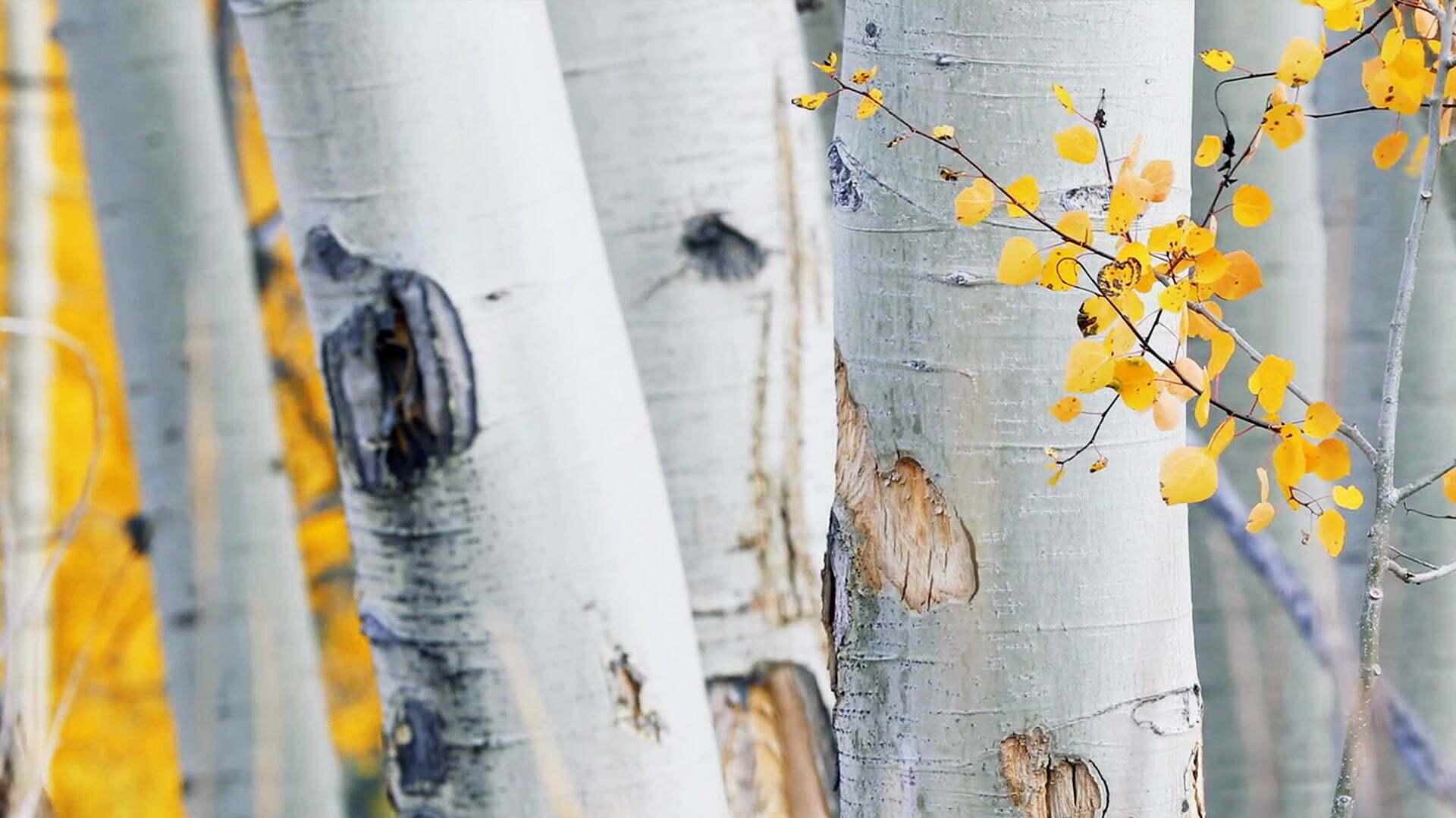Living Aspen Leaves