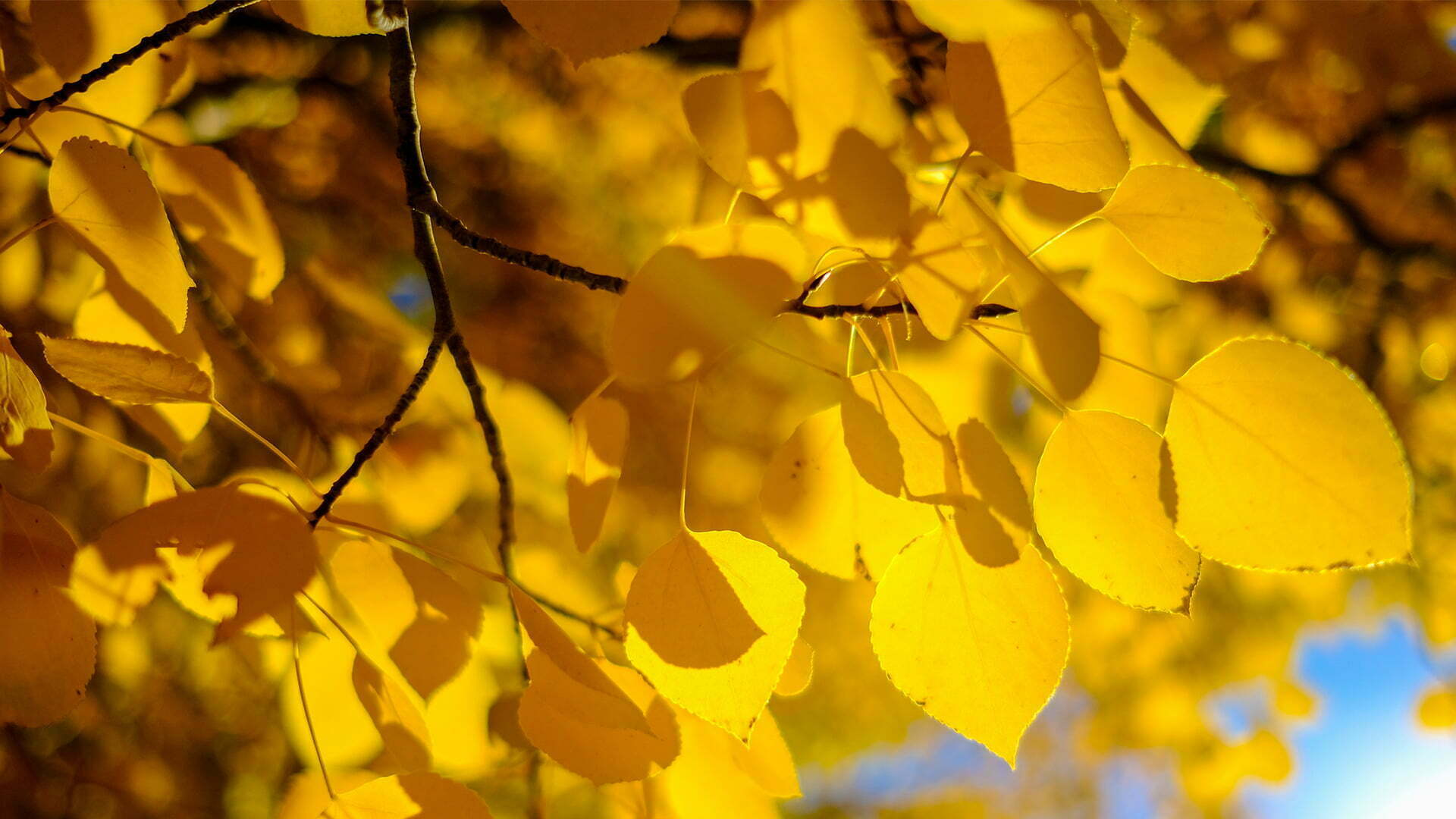 Living Aspen Leaves2